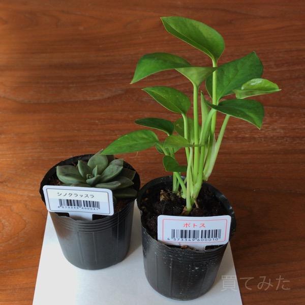 100円均一で『観葉植物』を買ってきました!