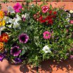 コストコで『季節の苗 1ケースアソート』が色んな花が入ってお得!